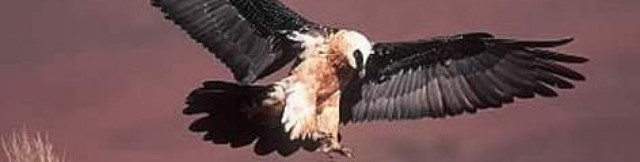 cropped-bearded_vulture_species_martinharvey_352211.jpg